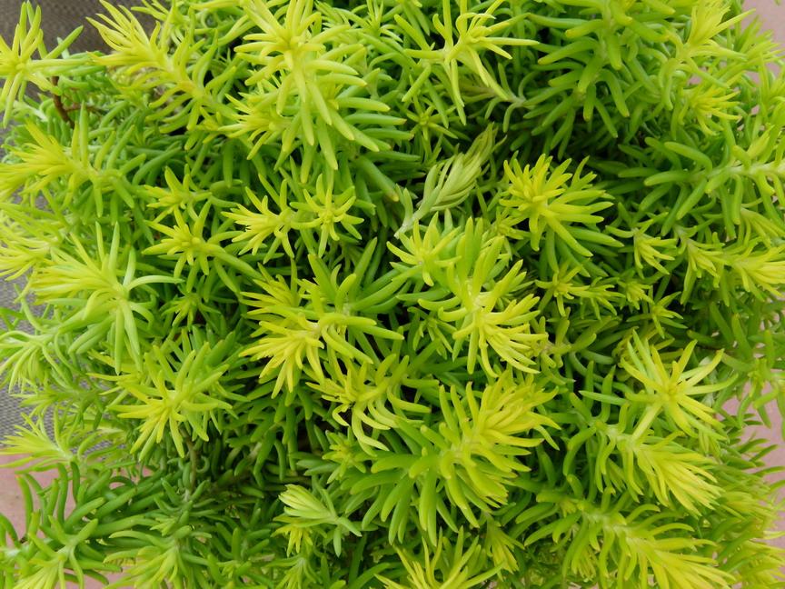 Sedum ruprestre angelina s dum ang lina orpin for Site de vente de plantes en ligne