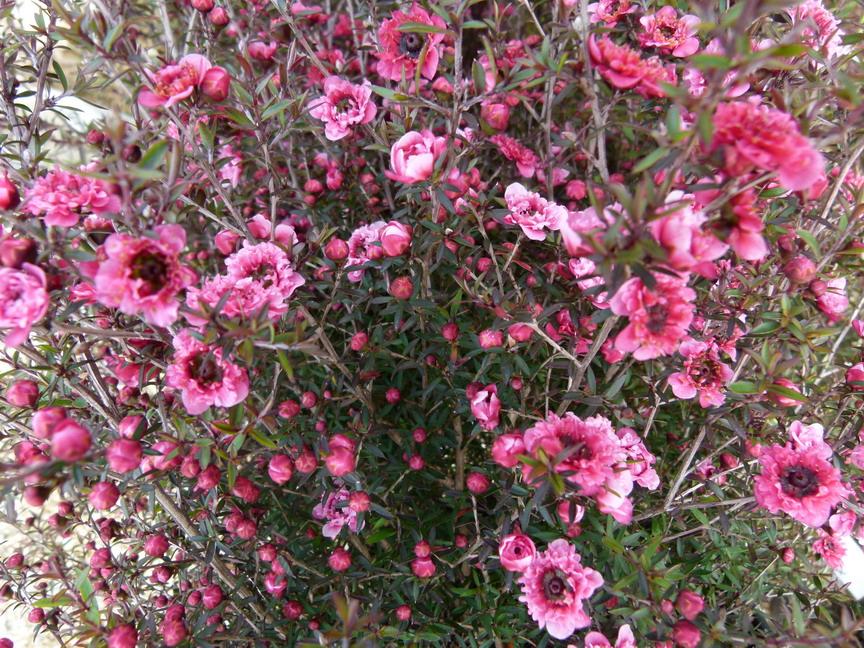 Leptospermum scoparium wiri kerry arbre th de for Catalogue de plantes en ligne