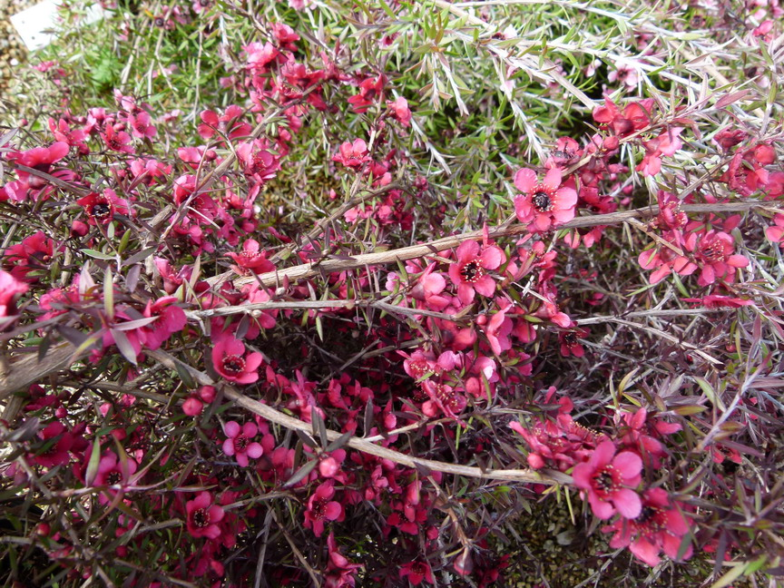 LEPTOSPERMUM scoparium Red Falls