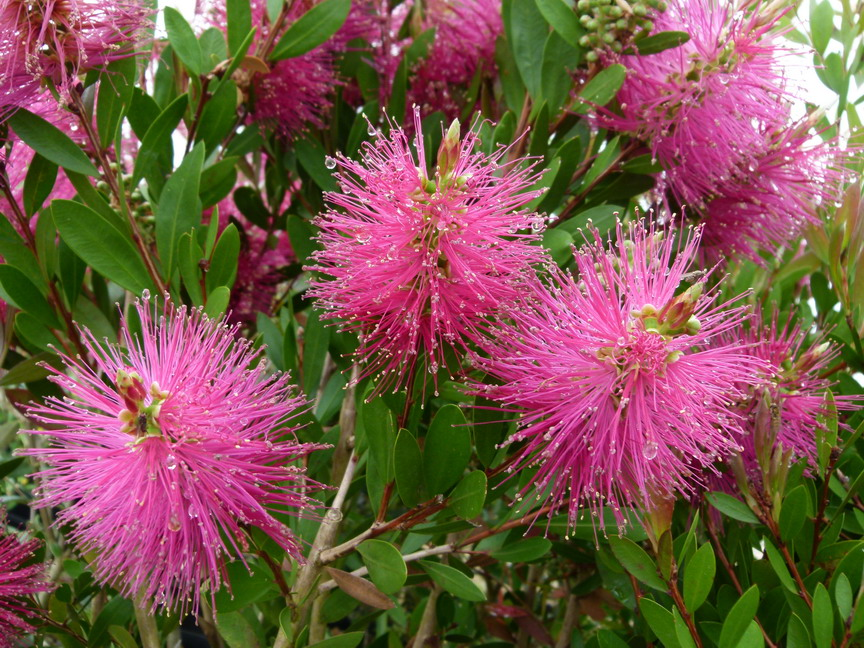 Callistemon viminalis hot pink rince bouteille for Plante rince bouteille