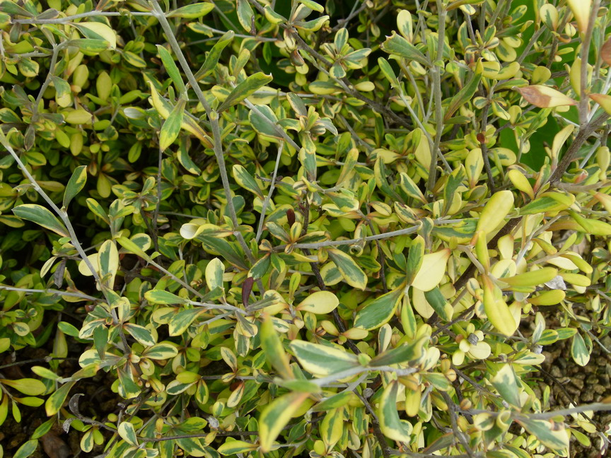 COROKIA x.virgata Sunsplash