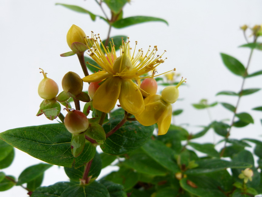HYPERICUM x.inodorum Magical Beauty ®