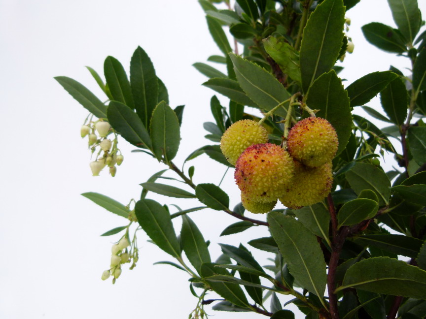 ARBUTUS unedo Atlantic