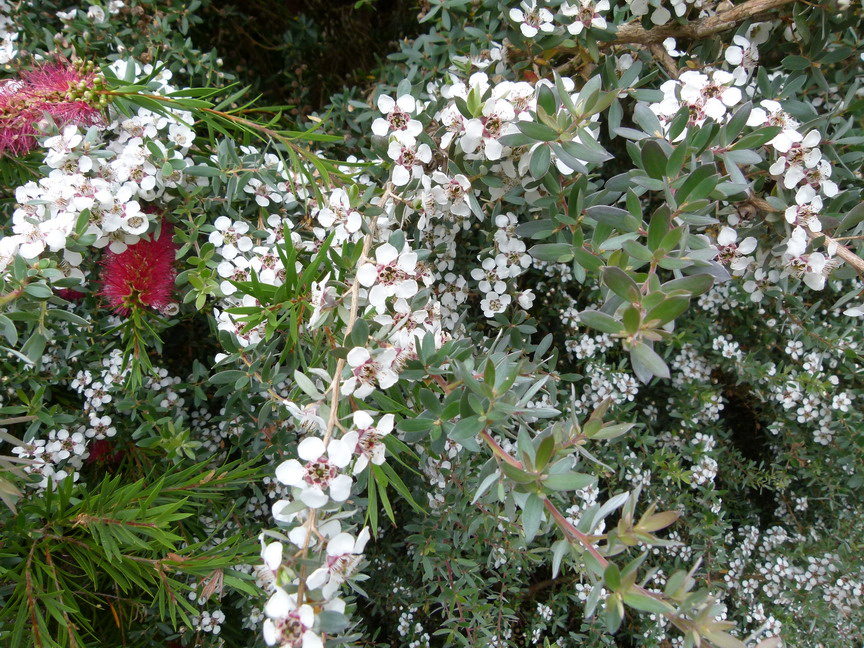 LEPTOSPERMUM lanigerum Silver Sheen
